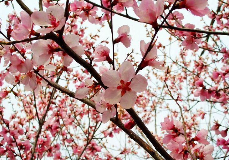 三月桃花红艳艳:人面桃花相映红