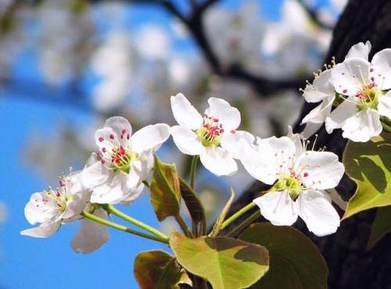 又是一年春草绿 梨花风起正清明