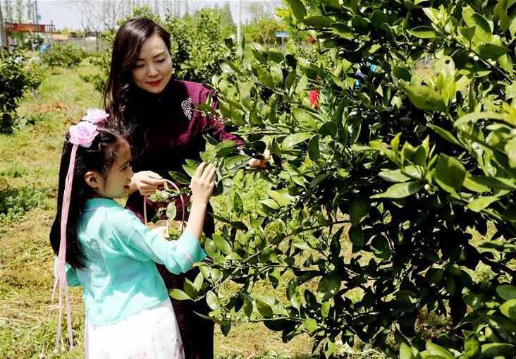 上海:芸香花节采花忙
