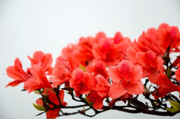 国花投票近尾声 哪种花能夺魁